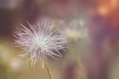 peachy keen (rockinmonique) Tags: flower bloom blossom seedhead fluffy delicate bokeh light macro red orange pink yellow moniquewphotography canon canont6s tamron tamron45mm copyright2018moniquewphotography