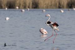 Flamenco común (Phoenicopterus roseus) (jsnchezyage) Tags: flamencocomún phoenicopterusroseus ave bird birding birdwatching ornithology feather birdinflight vuelo beak flamingo greaterflamingo