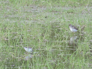Least and Semipalmated Sandpipers 1