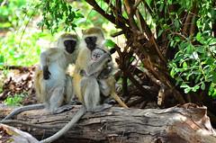 Зеленая мартышка, Chlorocebus aethiops, Vervet Monkey (Oleg Nomad) Tags: зеленаямартышка chlorocebusaethiops vervetmonkey африка кения самбуру сафари животные млекопитающие природа africa kenya samburu nature animals safari mammals travel