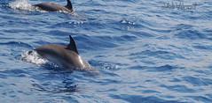 Delfiner... (Veli Vilppu) Tags: borås lapalma skillingaryd sweden veli vilppu båt delfin fyr havet kaj mur safari sköldpadda val spanien