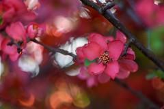 Chaenomeles / Flowering quince / Pigwowiec (agnieszka.a.morawska) Tags: garden oldlens helios44m helios bokeh bokehlicious beyondbokeh bkhq spring wiosna kwiat flower pigwowiec