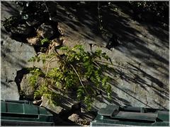 On Green Side ([JBR]) Tags: plante planta wall mur ombre shadow sombra texture pentax jbr photography 55 555 printemps spring 2018 avril primavera plant decay urbain urbano urban village