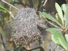 Banksia ornate 5 (barryaceae) Tags: australia