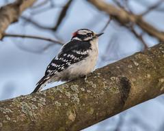 male Downy Woodpecker (wplynn) Tags: castleton indianapolis indiana wild bird birds avian male downy woodpecker picoides pubescens