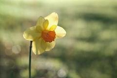 pastel (christophe.laigle) Tags: christophelaigle fleur macro narcisse nature flower fuji daffodil jonquille lumière xpro2 xf60mm pastel