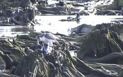 peregrine falcon (Rick Wright, Victor Emanuel Nature Tours) Tags: mill creek marsh