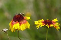 _DSC3009 (@Katerina Log) Tags: bee insect light daylight daisy flower foliage outdoor bokeh depthoffield nature natura katerinalog sonyilce6500 18105f4 macro