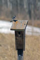 Tree Swallow (U.S. Fish and Wildlife Service - Midwest Region) Tags: nature wildlife minnesota mn april 2018 spring bloomington nesting nest nestbox box house bird birds birding swallow swallows treeswallow animal animals