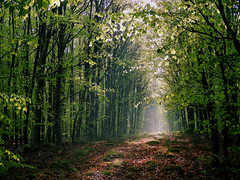 Morning Light In The Woods - 1/3 (M.L Photographie) Tags: forêt bois arbre tree trees sunlight rayoflight feuillage sentier woods green nature naturelovers normandie normandy france