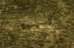 Gymnoscelis callichlora (dustaway) Tags: arthropoda insecta lepidoptera geometridae larentiinae gymnosceliscallichlora australianmoths australianinsects geometridmoth pug crypsis camouflage mounttamborine tamborinemountain sequeensland queensland nature australia