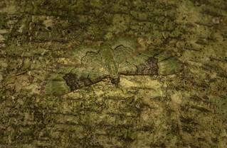 Gymnoscelis callichlora