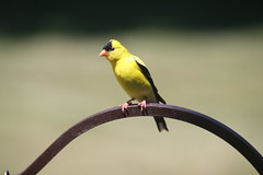 Goldfinches at my Feeders, July 8th, 2018 (Saline Michigan) (cseeman) Tags: summer yellow feeder birds michigan saline backyard goldfinches goldfinches07082018