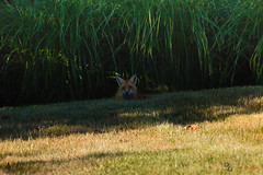 In the Shade (Donald.Gallagher) Tags: animals bbf backyard de delaware foxes horizontal layers lenstagger mammals nature newcastlecounty northamerica pikecreek public redfox sharpening summer typebackbuttonfocus typecolor typelightroom typephotoshop typeportrait typetelephoto usa woodcreek
