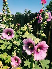 199/365/7 (f l a m i n g o) Tags: 365days project365 tuesday 2018 10th july pink summer hollyhocks flower