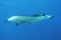 sea jet (BarryFackler) Tags: seacreature marinelife fish mantaray keauhoubay malfredi hahalua ray kailuakona mantaalfredi keauhou animal sealife vertebrate organism fauna manta nature marinebiology ecology zoology reef northkona water westhawaii ecosystem tropical undersea underwater 2018 island polynesia sea outdoor ocean bigisland life pacificocean pacific marine aquatic marineecosystem marineecology biology bay barryfackler barronfackler being bigislanddiving scuba sealifecamera sandwichislands seawater saltwater dive diver diving hawaii hawaiiisland hawaiicounty hawaiidiving konadiving hawaiianislands kona