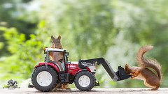 red squirrels standing with an tractor (Geert Weggen) Tags: agriculture animal closeup colorimage cultivated cute dirt environment environmentaldamage environmentalissues food harvesting healthyeating horizontal humor lifestyles mammal nature newlife nopeople organic outdoors photography planetspace planetearth plant pollution red rodent seed socialissues springtime squirrel summer tractor cutout yellow farm new machinery agriculturalequipment heavy wheel agriculturalmachinery agriculturaloccupation vehicle transportation bispgården jämtland sweden geert weggen ragunda