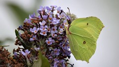 Brimstone Butterfly (My First!) (doranstacey) Tags: nature wildlife insects butterfly butterflies brimstone rspb oldmoor tamron 150600mm nikon d5300 macro macrophotography flowers south yorkshire
