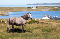 Connemara Pony (j0hnnyg) Tags: westport galway ireland 2018 countygalway ie connemara pony sea islands