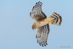 Eying the turf (Earl Reinink) Tags: bird animal raptor predator nature wildlife outside outdoors flying earlreinink earl reinink hawk harrier northernharrierhawk hhadiuudha
