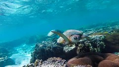 Count the turtles... 1, 2, 3! Lady Elliot Island (David Marriott - Sydney) Tags: turtle video lady elliot island snorkelling water underwater lagoon eco resort ikelite yi technology 4 plus action camera