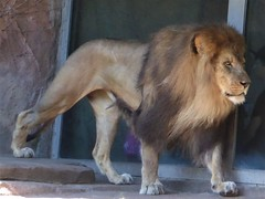 Chicago, Lincoln Park Zoo, Male Lion (Mary Warren 11.6+ Million Views) Tags: chicago lincolnparkzoo nature park fauna mammal animal lion malelion
