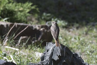 Black Redstart (Female)
