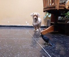 Roni y Negrillo (Santiago Stucchi Portocarrero) Tags: roni negrillo perro can cane chien hund hound dog ave bird pájaro uccello tordo santiagostucchiportocarrero
