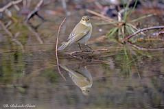 Luì piccolo _017 (Rolando CRINITI) Tags: luìpiccolo uccelli uccello birds ornitologia arenzano natura