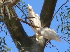 Little Corella (5) (margaretpaul) Tags: bird australianbird corella littlecorella