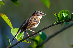 Rufous-collared Sparrow (Guilherme Fialho Soares) Tags: nature bird tree green brazil forest eyes travel trip light life beauty beautiful wildlife love colors colours color colour photography photographer photo picture day morning earth telephoto