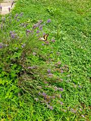 (Jelena1) Tags: lavanda lavandula lavendel lavender lamiaceae alhucema espliego plant plante biljka pflanzen växt flora insect insekt insekten insekter nature naturaleza natur priroda summer sommar sommer été leto verano serbia srbija flower cvet flor fleur blüte blomma zomer planten bloem insecten garden grass gras gräs trava leptir butterfly papillon vlinder schmetterling fjäril mariposa lastinrepak papiliomachaon swallowtail grandportequeue macaon schwalbenschwanz makaonfjäril koninginnenpage