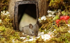 baby mouse in log pile (1) (Simon Dell Photography) Tags: house mouse log pile door coconut mossy moss logs wood stack garden wild wildlife cute funny detail close up awesome viral ears eyes george mini mildred sheffield s12 hackenthorpe decorated summer images mice two mouses animals rodents