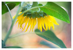 Solar energy (leo.roos) Tags: zonnebloem helianthusannuus sunflower yellow geel angénieux100mm a7 pangénieuxparissthéandaxtype75f100105 projectorlens projectionlens july2018classicprimes week100 dyxum challenge darosa leoroos