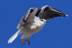 Next hunt (Geoff Main) Tags: act australia bird birdofprey birdinflight blackshoulderedkite canon7dmarkii canonef300mmf28lisiiusm canonefextender20xiii jerrabomberrawetlands kite