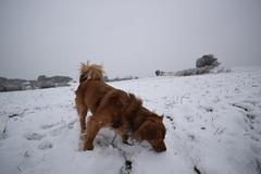 Laika jugant amb la neu (Hachimaki123) Tags: animal dog perro laika neu nieve snow