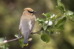 """Jaseur D""""Amerique (JC la sentinelle) Tags: bird birdsofnorthamerica cedarwaxwing fleures jaseurdamérique oiseau oiseauduquebec pommier"""