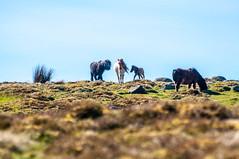 Wild (Tony Shertila) Tags: penmaenmawr wales europe outdoor pig penmaenmawrcommunity unitedkingdom gbr horse pony mooreland wild sky clear