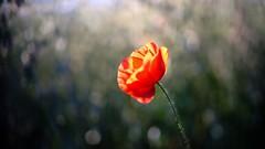 Poppy - 5464 (ΨᗩSᗰIᘉᗴ HᗴᘉS +18 000 000 thx) Tags: poppy coquelicot flora flower bokeh light fuji fujifilmgfx50s hensyasmine namur belgium europa aaa namuroise look photo friends be wow yasminehens interest intersting eu fr greatphotographers lanamuroise tellmeastory flickering laowa laowa60mm