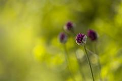2018-06-16--Pagny la Blanche Côte0057.jpg (heijoelle) Tags: allium france macro fleurs meuse europe pagnylablanchecôte lorraine macrophotographie