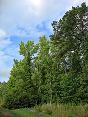 Trees And Sky. (dccradio) Tags: lumberton nc northcarolina robesoncounty outdoor outdoors outside greenery backyard plant lawn yard grass sky clouds tree trees foliage branch branches treebranch treebranches leaf leaves nature natural sony cybershot dscw230