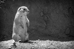 Prairie Dog II (Alexander Day) Tags: prairie dog animal animals mammal mammals turtle back zoo new jersey alex day alexander blackandwhite monochrome vignette