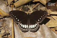 The White Diadem - ผีเสื้อตาลจุดขาวเรียง (Antonio Giudici Butterfly Trips) Tags: umphang tak