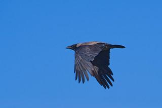 Hooded Crow flight
