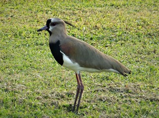 Vanellus chilensis  Southern Lapwing.