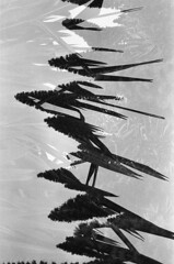 ласточки (m_travels) Tags: ласточки swallows birds conceptual art doubleexposure 35mmfilm kodaktrix400 multiexposure abstract analog argentique blackandwhite плёнка