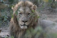 Lion - Zimanga - South-Africa (wietsej) Tags: lion zimanga southafric m4 rx10iv southafrica sony rx10m4 animal