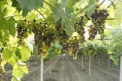 montepulciano (lo zen) Tags: vigna montepulciano larino uva grappoli molise