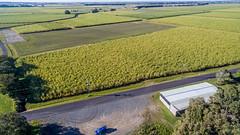 Sugar cane (OzzRod) Tags: dji phantom3a quadcopter drone petrov aerial oblique rural agriculture sugarcane farm pimlico ballina nsw