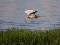 Flying Heron (hasham2) Tags: wild wildlife bird heron flight nikon d7100 zoom grass water indianpondheron